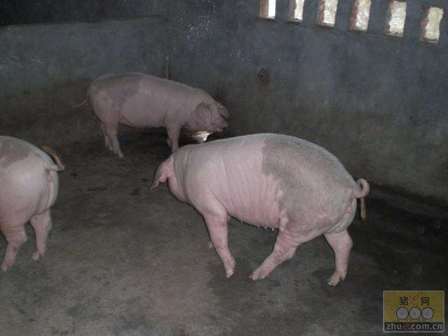 高产二元母猪