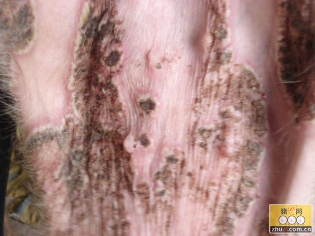 猪皮肤病图片若干 - 育肥技术