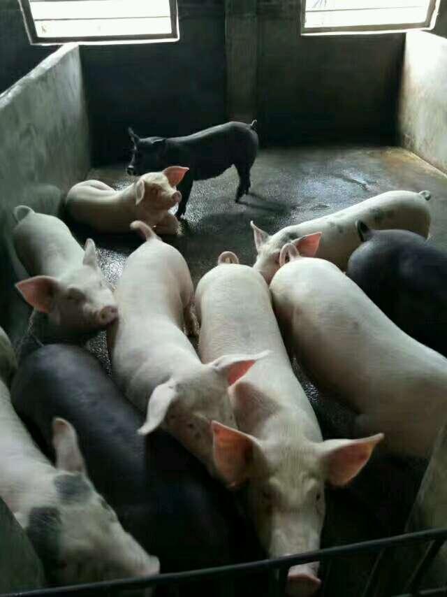 广西玉林市博白县供应20~30kg仔猪