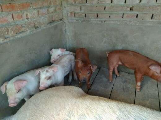 吉林省长春市双阳区供应10~15kg仔猪