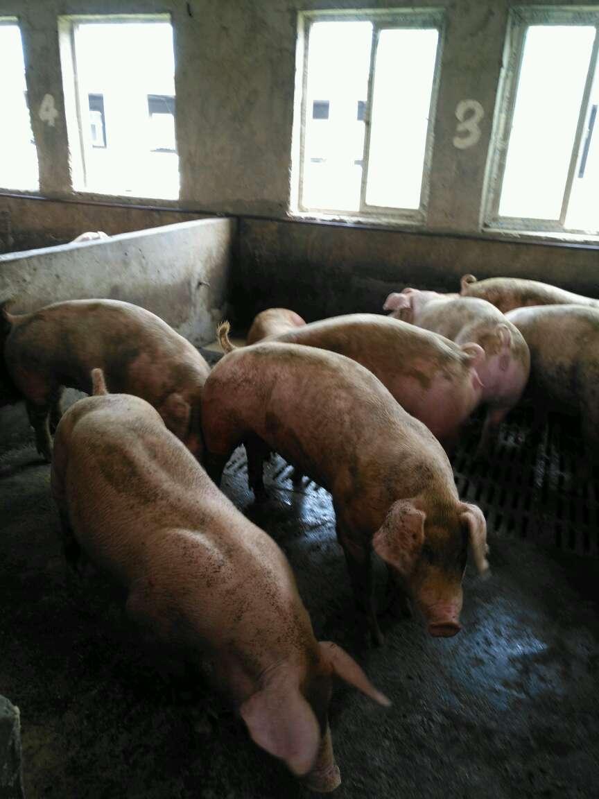河南省安阳市供应10~15kg仔猪