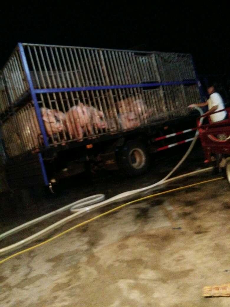 安徽省滁州市定远县求购外三元生猪