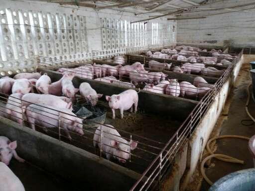 广西玉林市北流市供应20~30kg仔猪