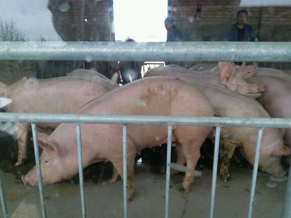 青海省海东地区互助土族自治县供应10~15kg仔猪