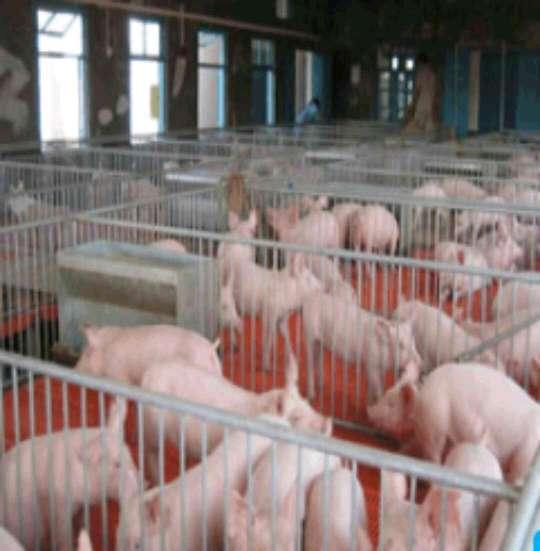 不限供应15~20kg仔猪