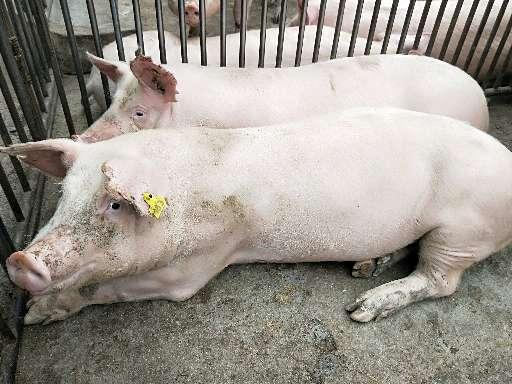 青海省海东地区供应外三元生猪