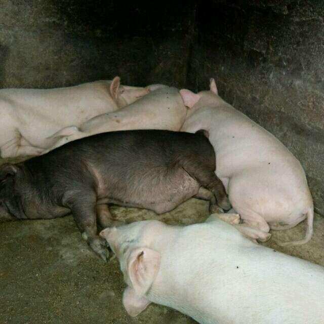 四川省凉山彝族自治州金阳县求购土杂猪生猪