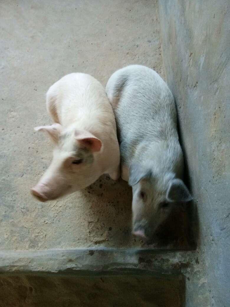 甘肃省庆阳市合水县供应土杂猪生猪