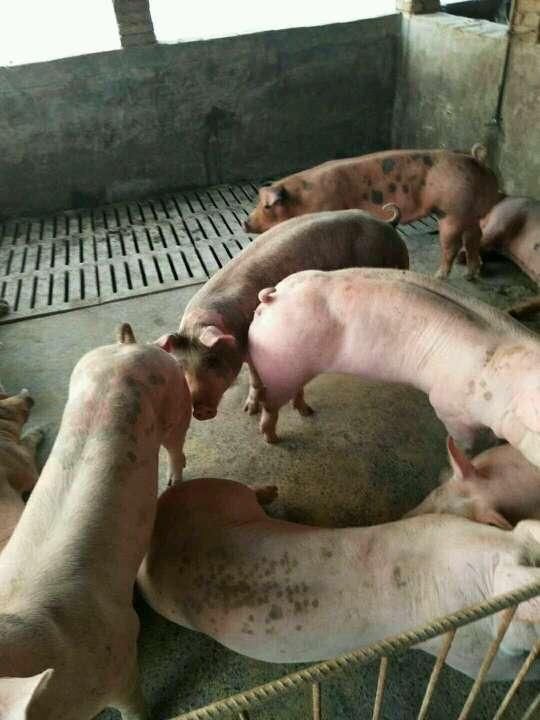 浙江省湖州市长兴县供应30kg以上仔猪