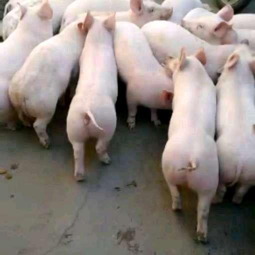 河北省石家庄市平山县供应15~20kg仔猪