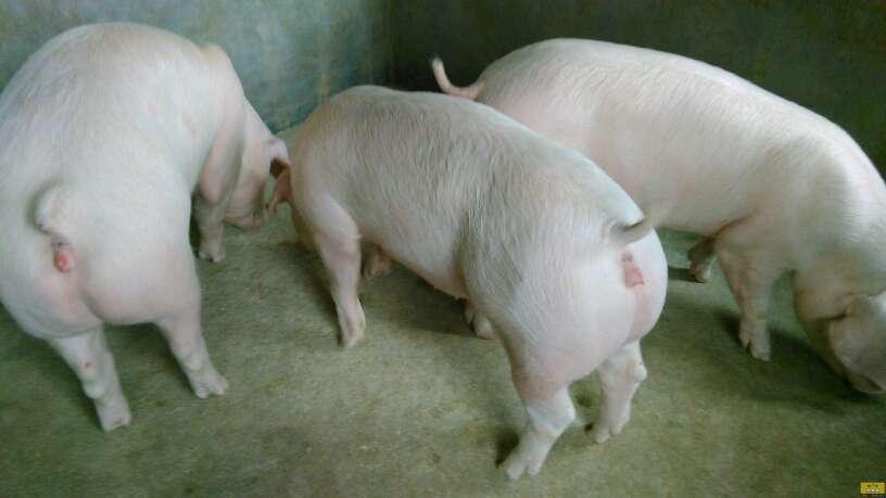 安徽省求购外三元生猪