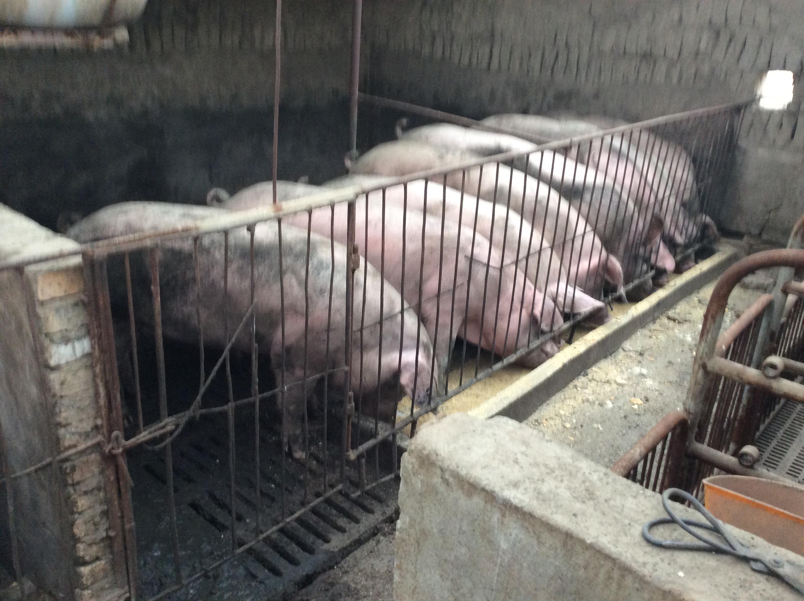 甘肃省酒泉市肃州区供应外三元生猪