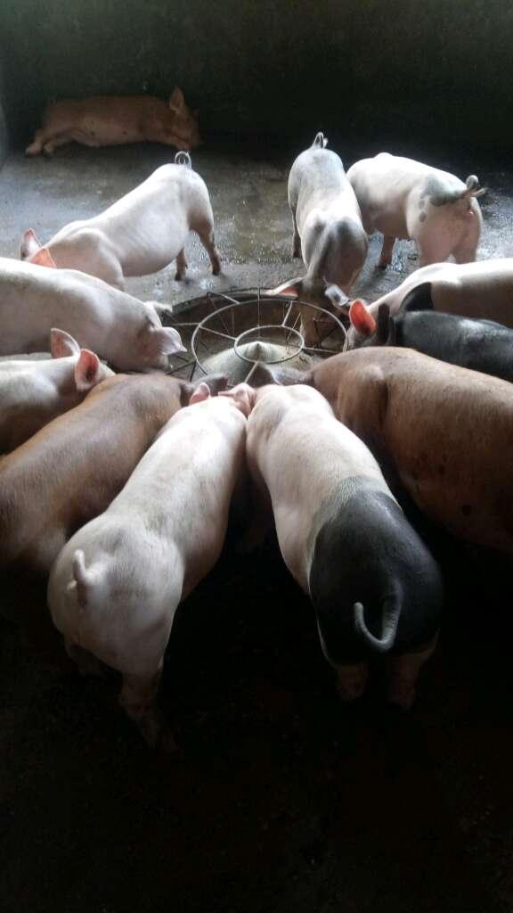 广西玉林市供应20~30kg仔猪