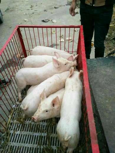 湖北省宜昌市当阳市供应10~15kg仔猪