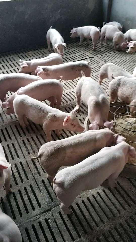 广西玉林市博白县供应15~20kg仔猪