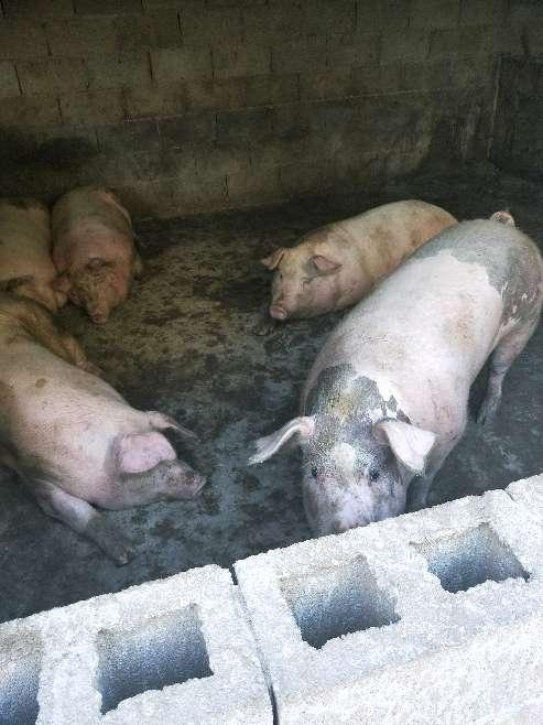 云南省供应外三元生猪