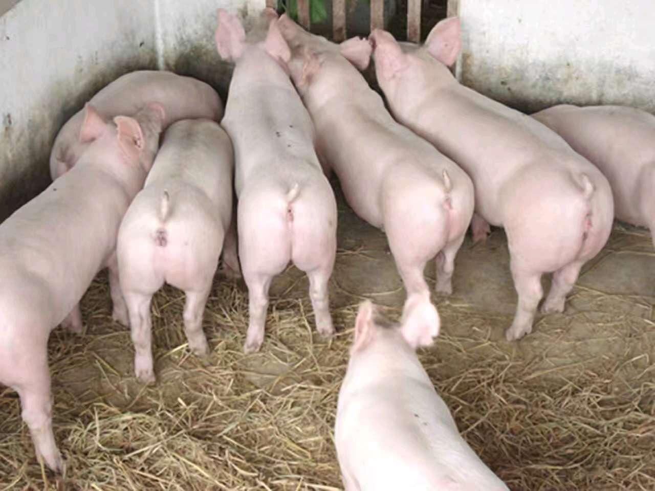 山东省潍坊市诸城市供应20~30kg仔猪