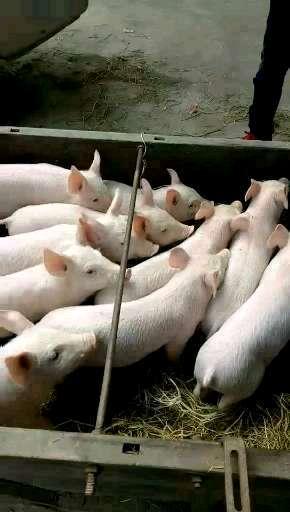 湖南省岳阳市汨罗市供应10~15kg仔猪