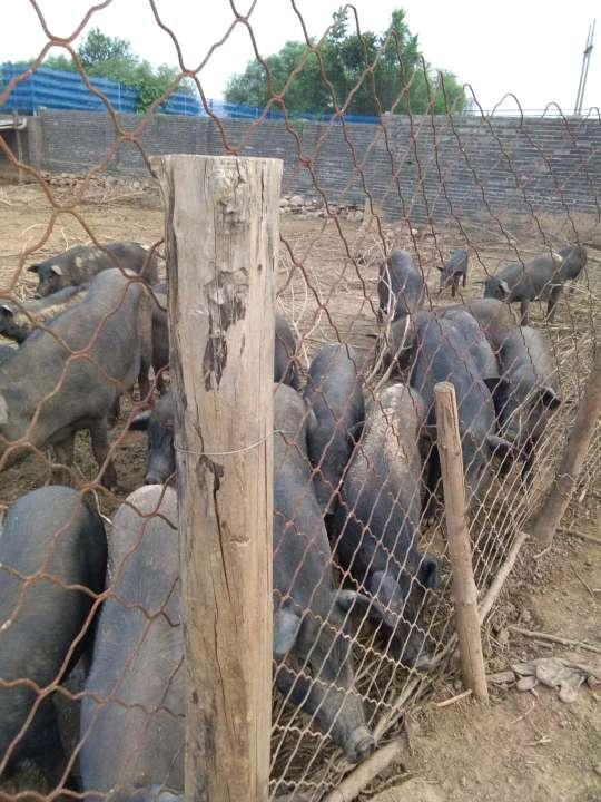 河北省邯郸市武安市供应土杂猪生猪