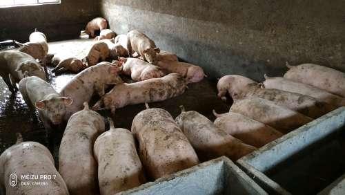 河南省商丘市永城市供应外三元生猪