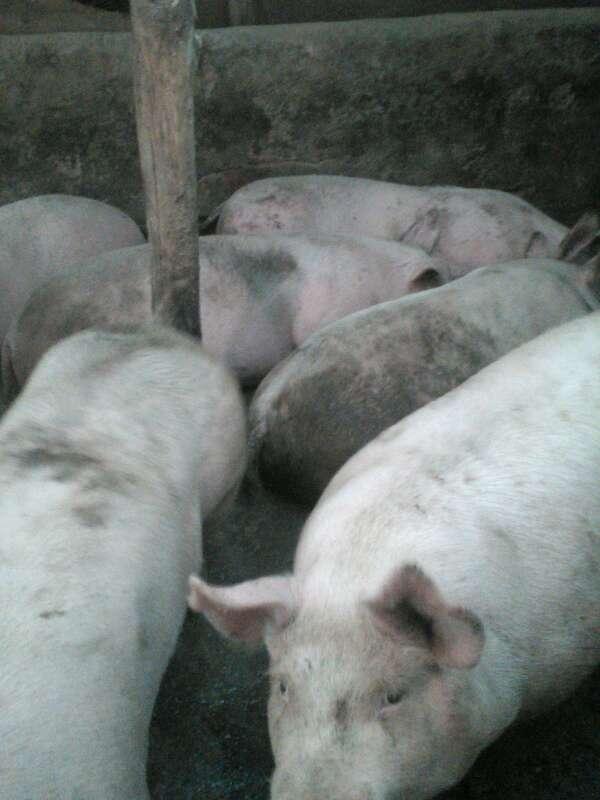 甘肃省平凉市崆峒区供应外三元生猪