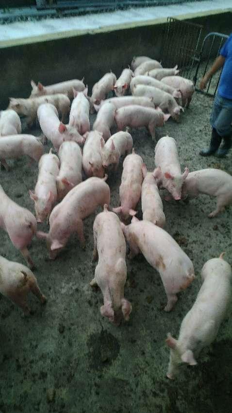 四川省绵阳市供应20~30kg仔猪