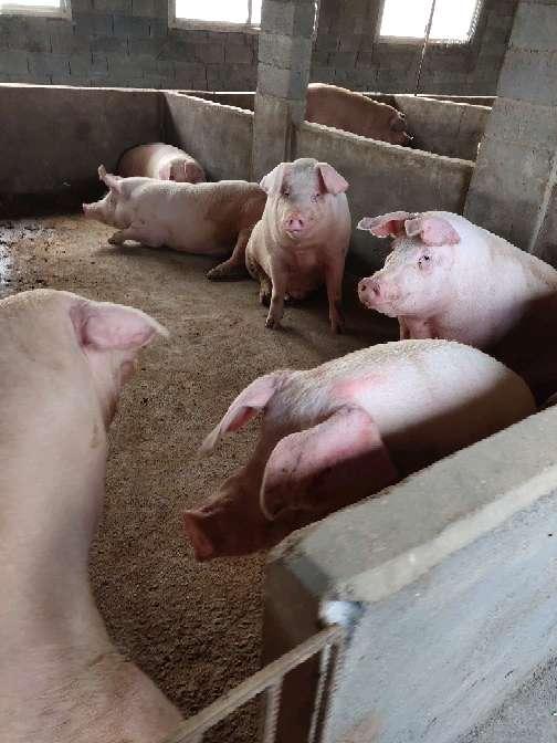河南省驻马店市确山县供应外三元生猪