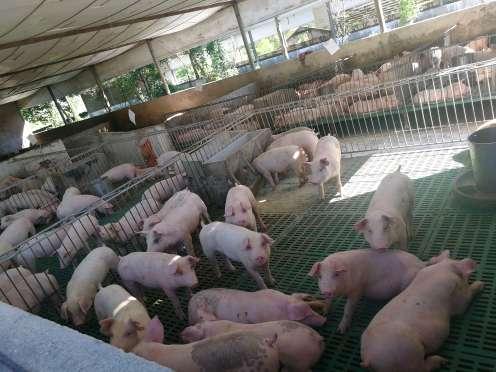 重庆市大足县供应20~30kg仔猪