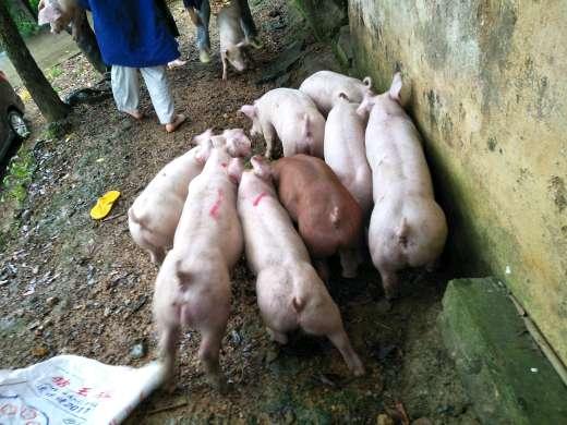 供应15~20kg仔猪