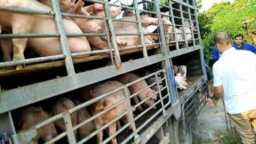 广西供应15~20kg仔猪