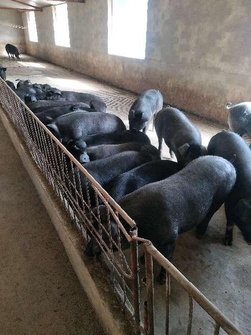 甘肃省供应土杂猪生猪