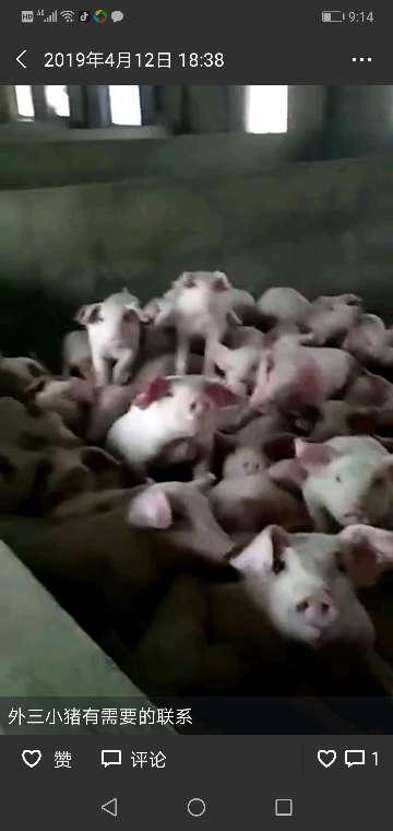 福建省宁德市供应内三元生猪
