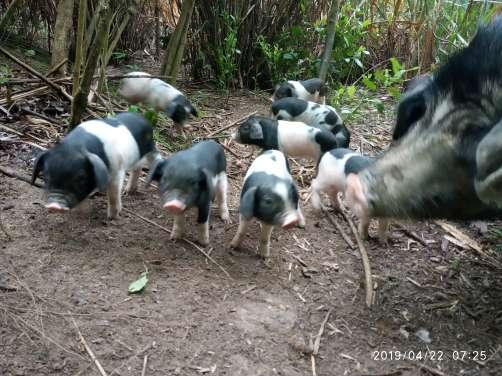 安徽省黄山市黟县供应10~15kg仔猪