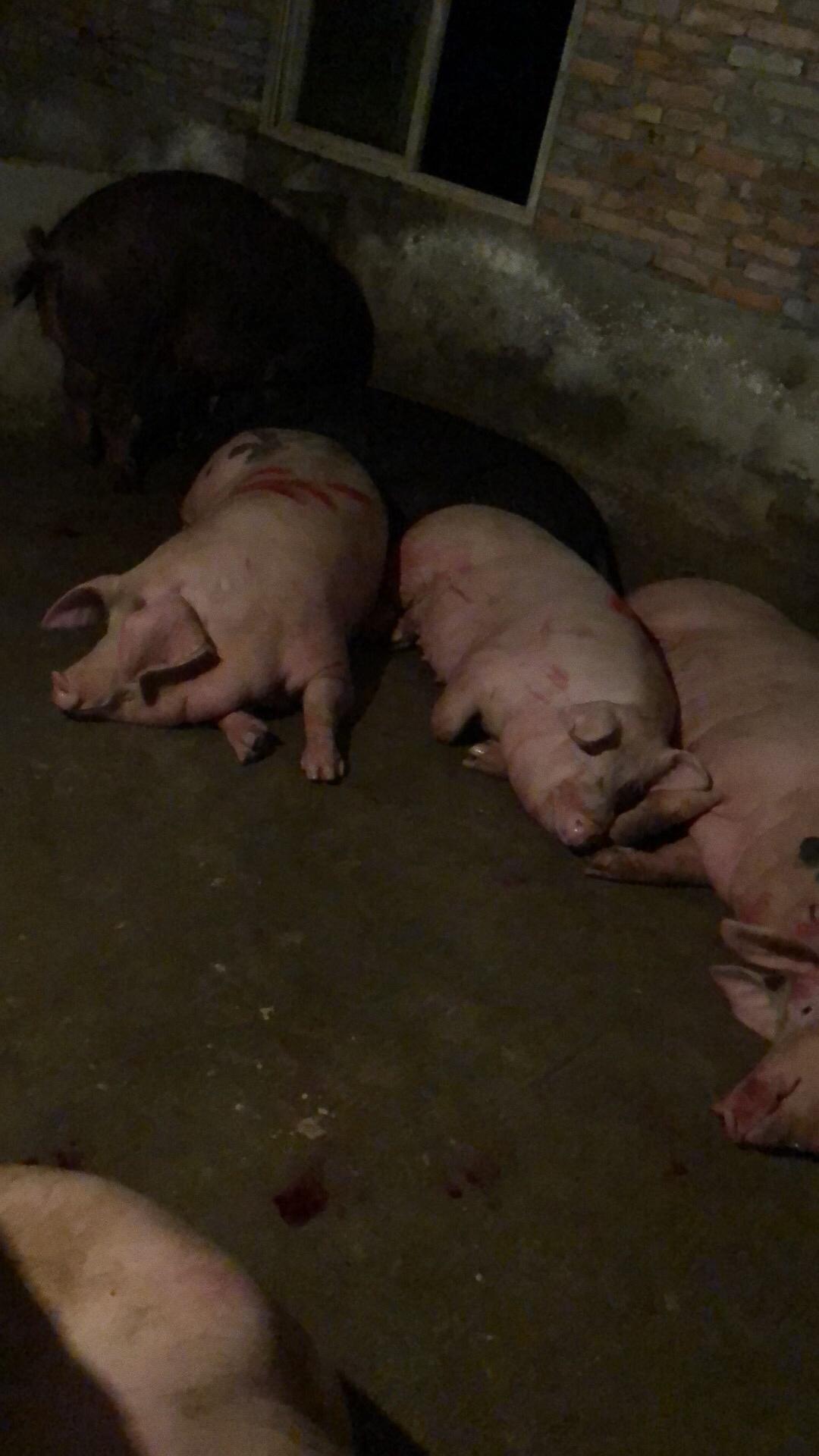 求购外三元生猪