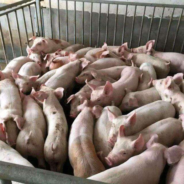河北省石家庄市寿县供应15~20kg仔猪