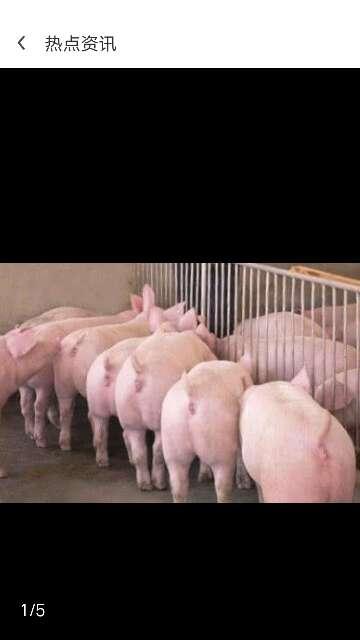 贵州省遵义市仁怀市供应土杂猪生猪