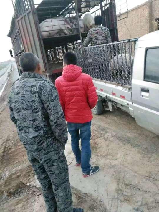 山西省临汾市供应10~15kg仔猪