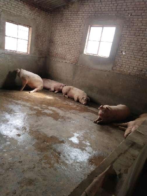 云南省大理白族自治州弥渡县供应外三元生猪