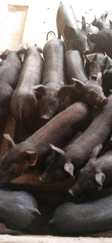 安徽省安庆市太湖县供应20~30kg仔猪