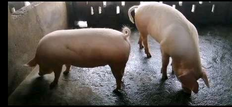 广西壮族自治区桂林市全州县供应内三元生猪