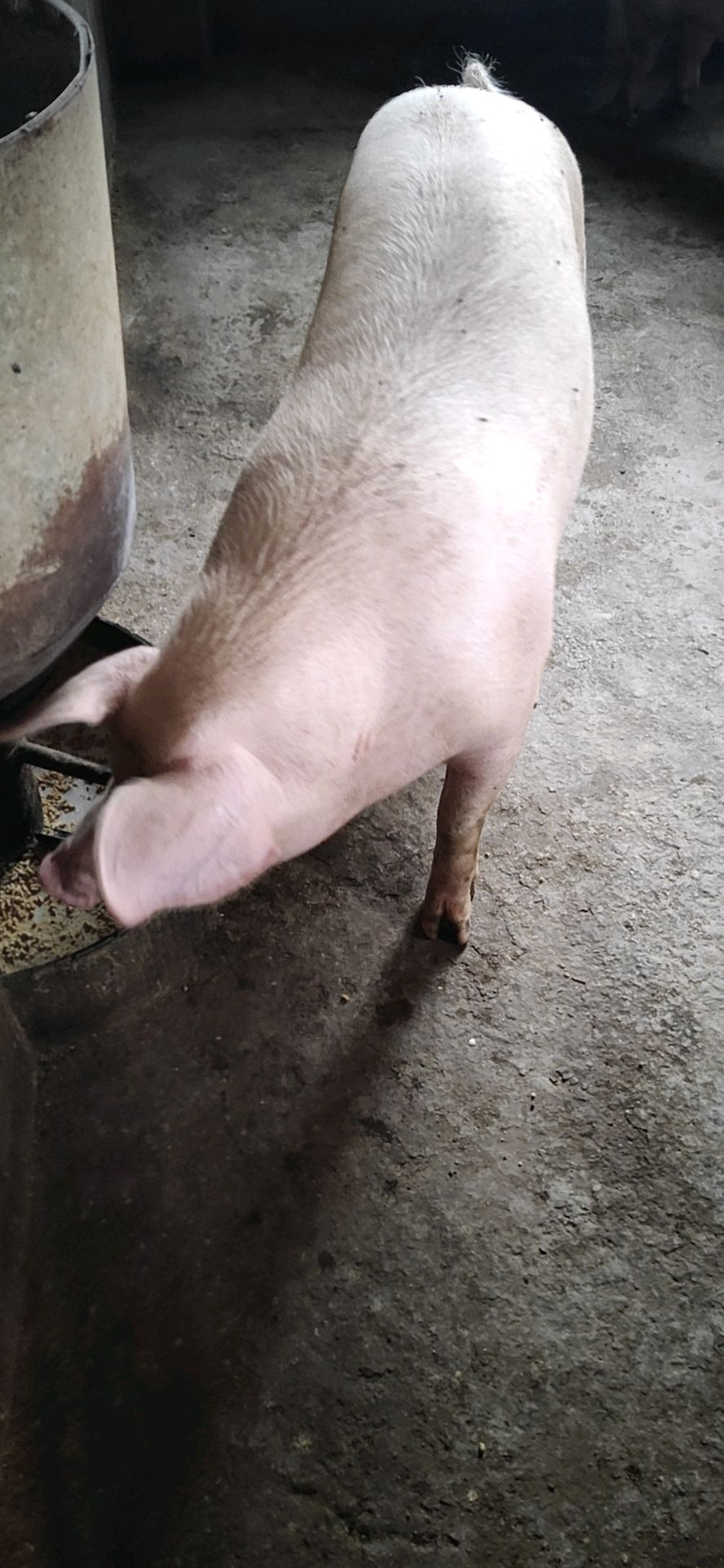 云南省大理白族自治州供应内三元生猪