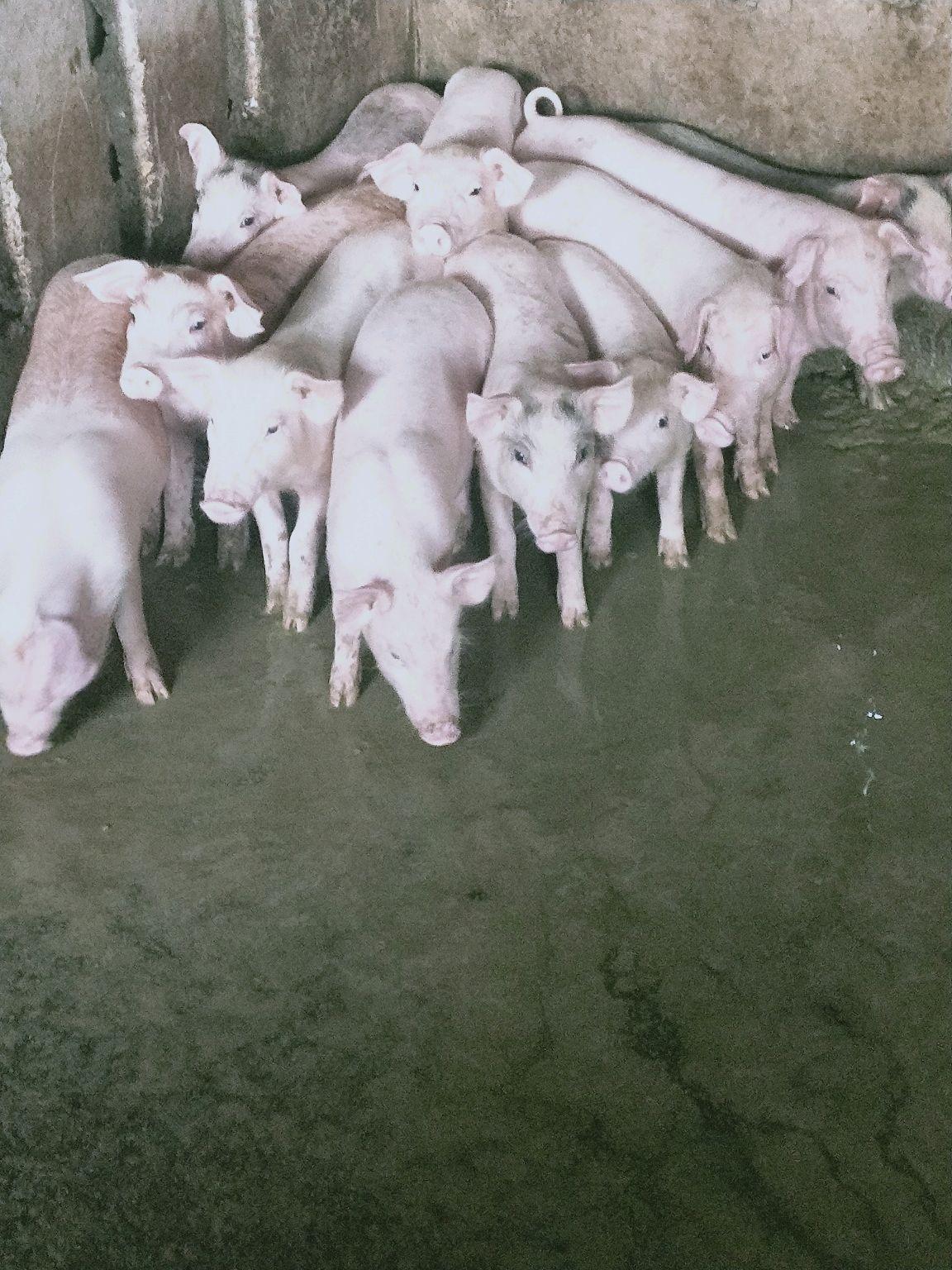 广西玉林市供应10~15kg仔猪