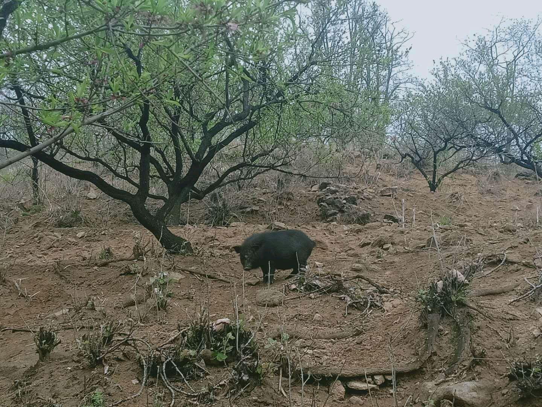 山东省淄博市博山区供应土杂猪生猪