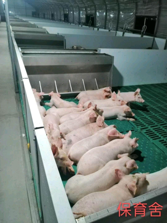 陕西省渭南市大荔县供应10~15kg仔猪