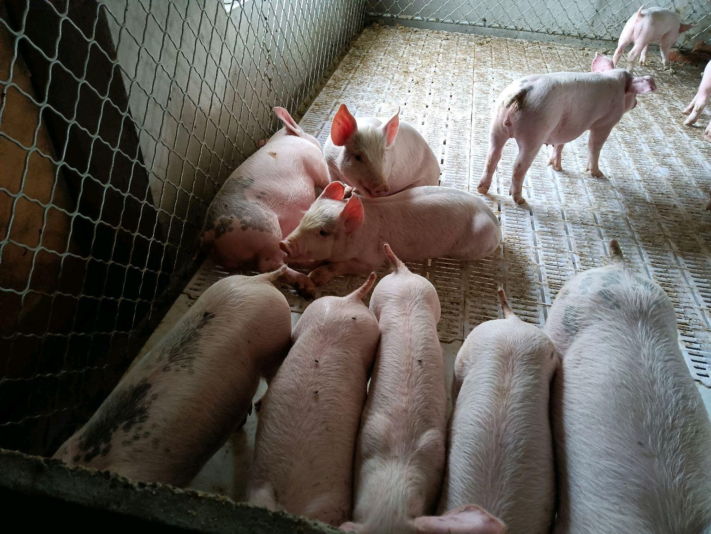 辽宁省大连市金州区供应15~20kg仔猪
