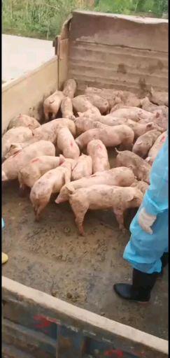不限供应10~15kg仔猪