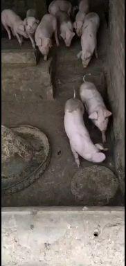 河北省石家庄市平山县供应10~15kg仔猪